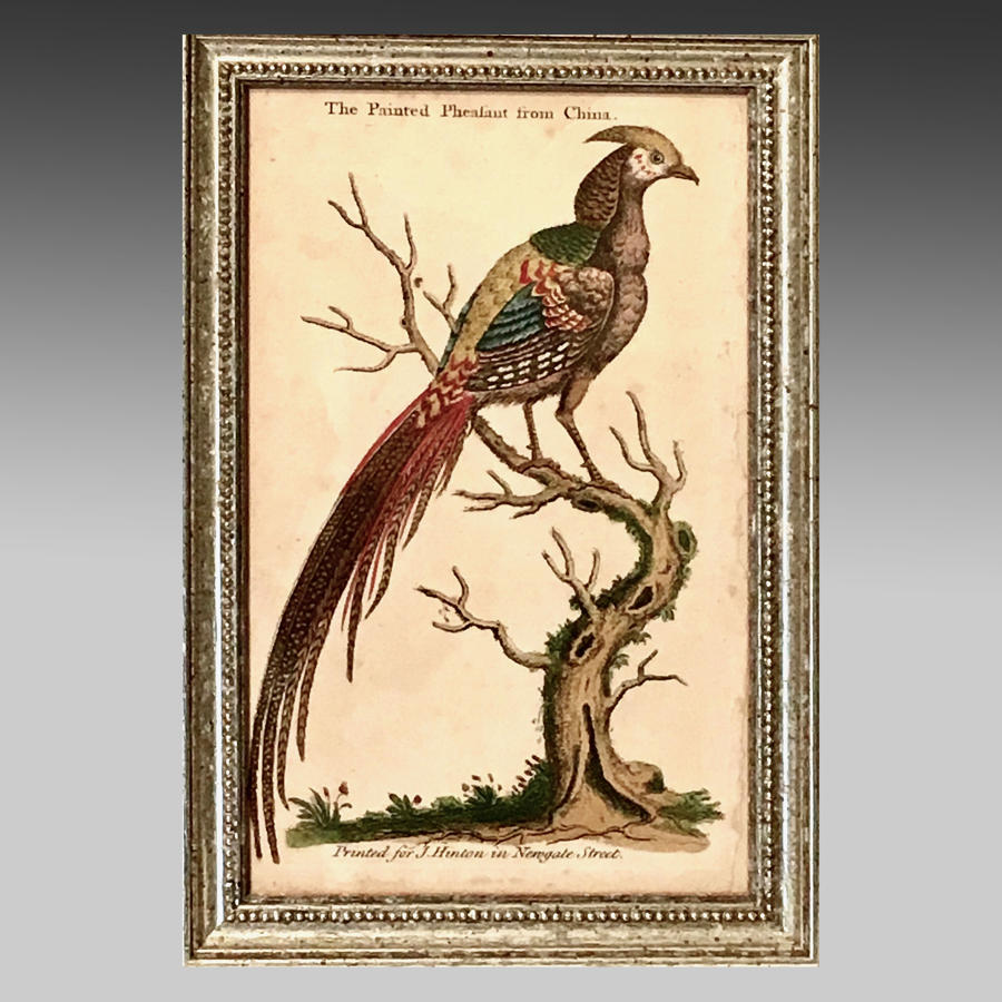18th century engraving 'The Painted Pheasant from China'
