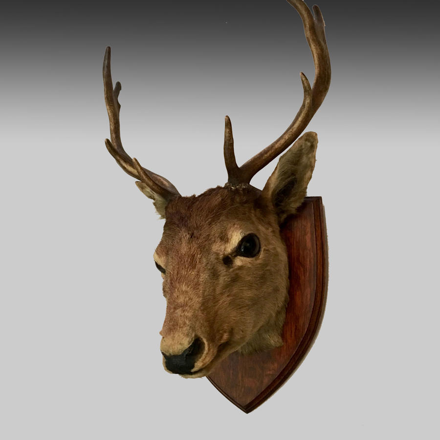 Vintage stag's head with eight point antlers